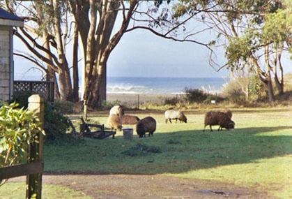 Sheep | Howard Creek Ranch