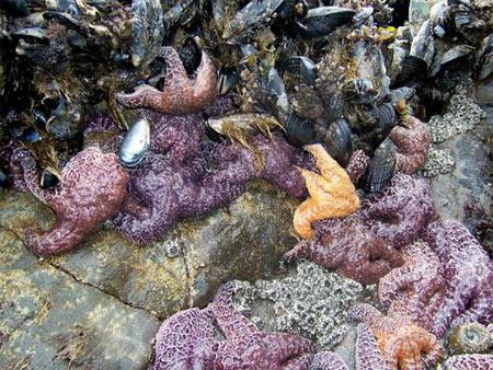 Tidepools Starfish